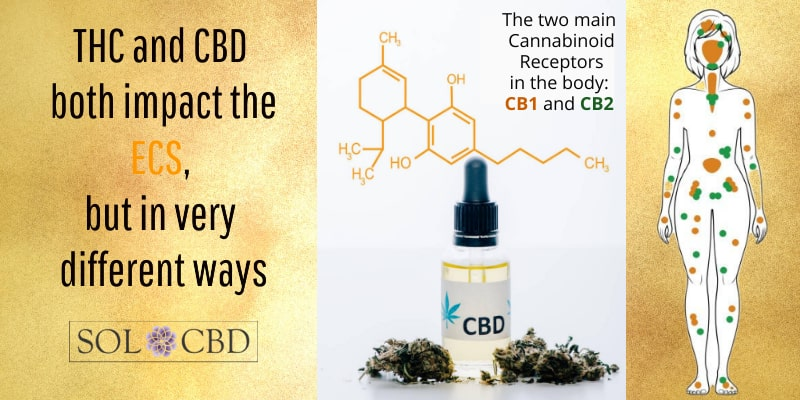 THC and CBD both impact the ECS, but in very different ways.