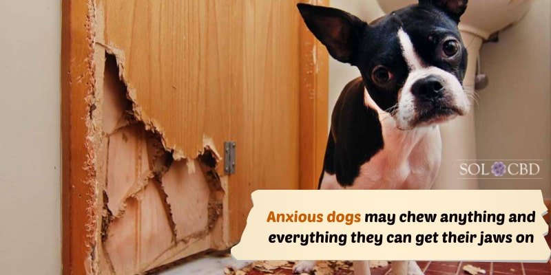 Anxious dogs may chew anything and everything they can get their jaws on.