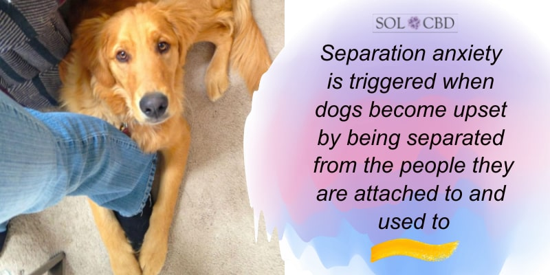Separation anxiety is triggered when dogs become upset by being separated from the people they are attached to and used to.
