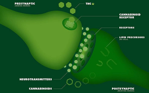CBD oil digestion _ cannabinoids and the but