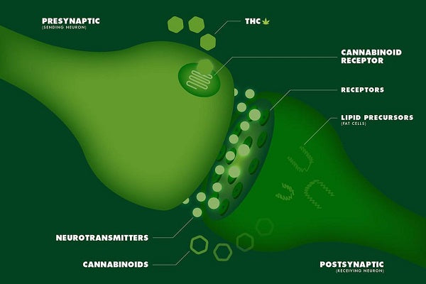 Anandamide is an endocannabinoid that binds with both CB1 and CB2 receptors.