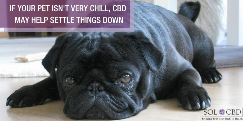 If your pet isn't very chill and appears to be constantly in a stressed state, CBD may help settle things down.