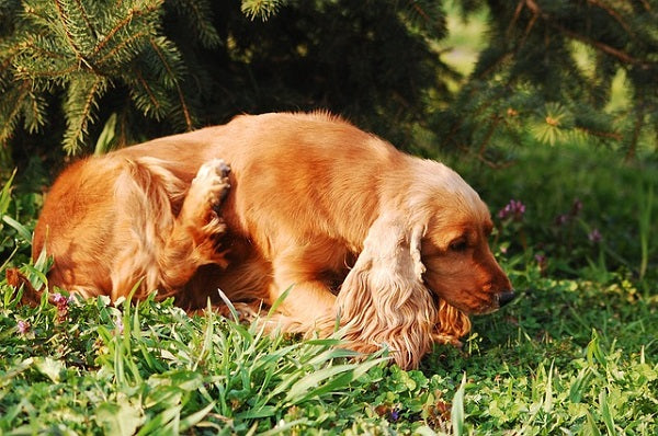 With CBD oil, dogs' itchy skin is most often easily soothed.