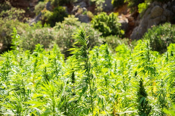 Hemp is now widely promoted as a crop for the future.
