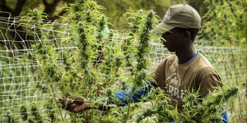 Hemp Farming—Boosting the Agricultural Sector