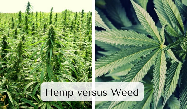 Hemp and marijuana come from the same plant family and even look similar to an untrained eye.