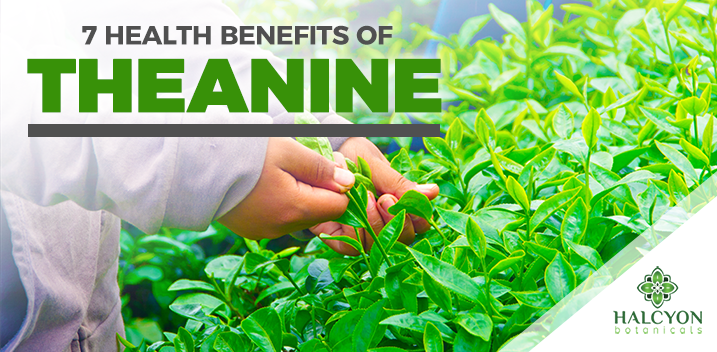7 Health Benefits of L-Theanine