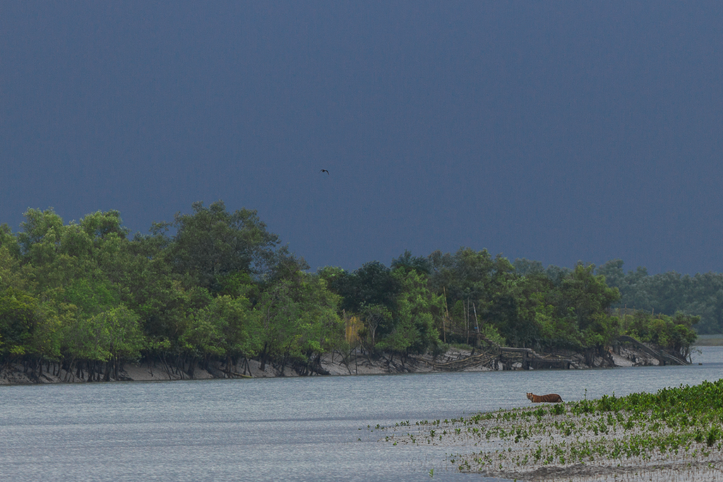 Soumyajit Nandy's rendezvous with the Sundarban Tiger Reserve