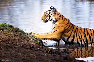 Do tigers love water?