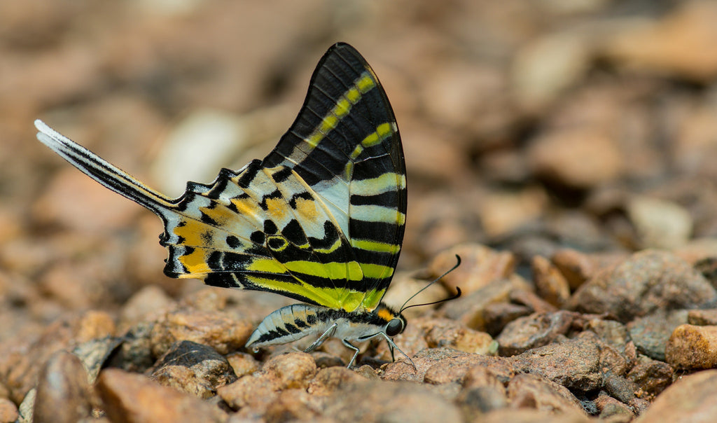 Interview: Pradeep Nayak, India's Butterfly Buddy
