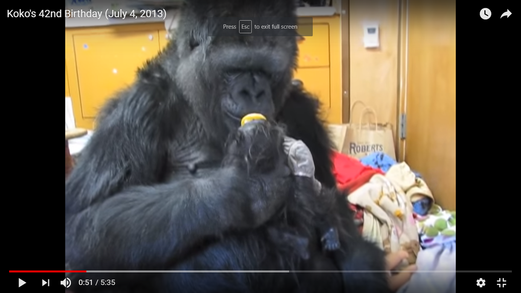Koko, the Gorilla, leaves behind memories