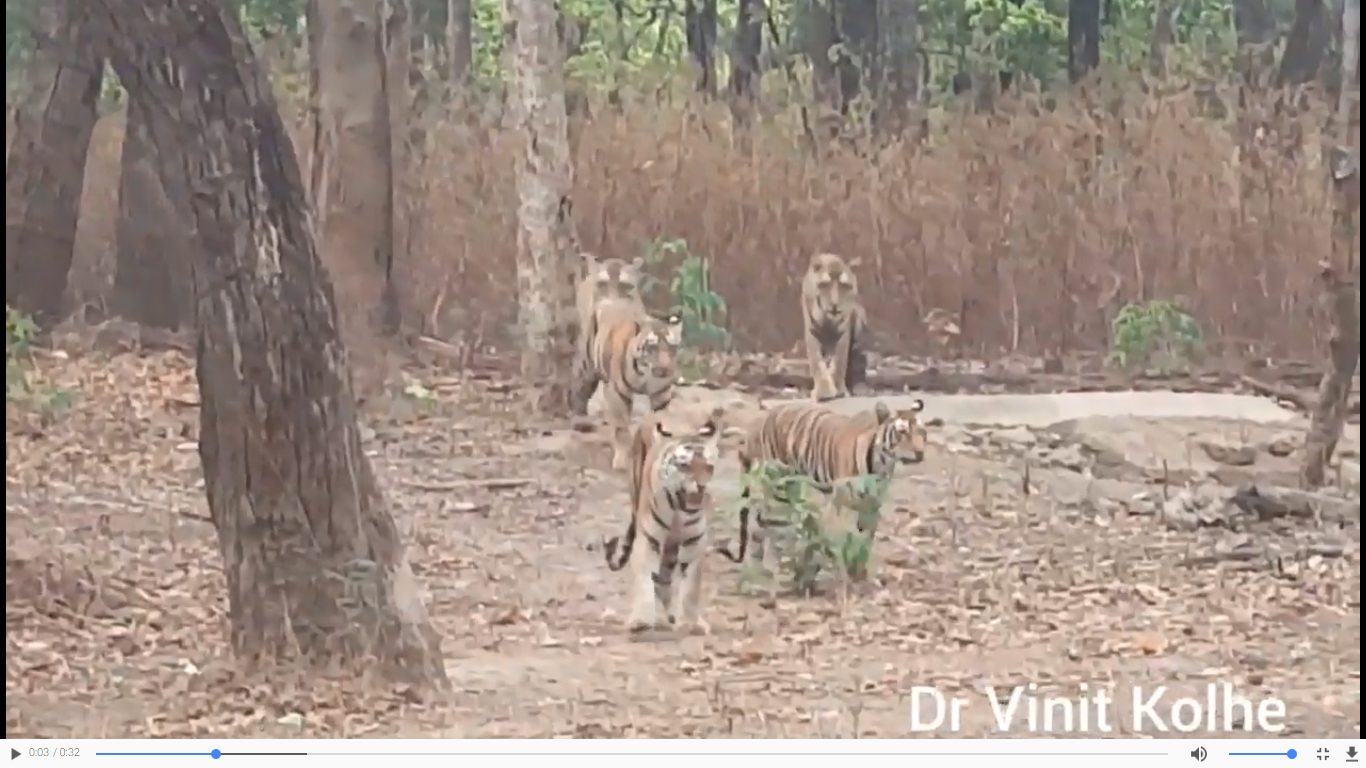 Five Indian royal tigers in one frame! By Vinit Balram Kohle (Video)