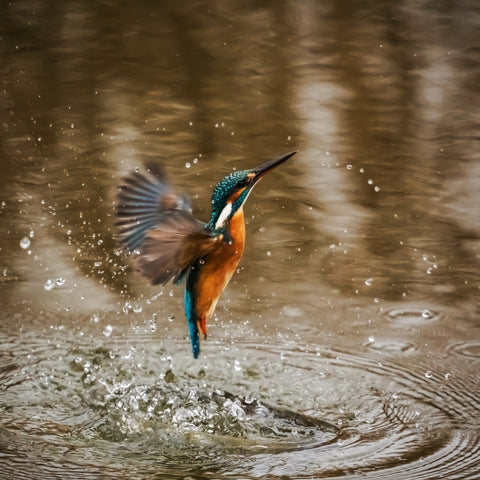 Kingfisher taking a bath