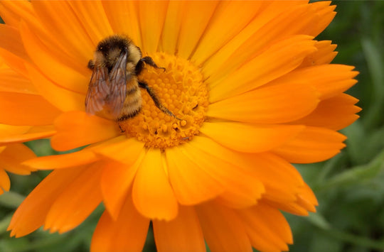 6 amazing Skin Health benefits of Calendula