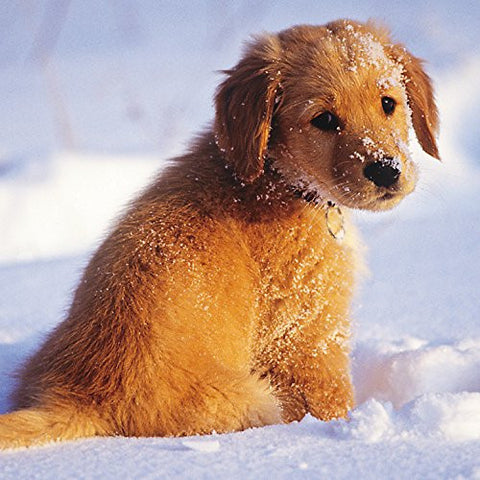 Golden Retriever Puppy Dog in the Snow Christmas Cards Box of 16 (Two designs)