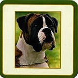 Boxer dog Drinks Coaster (Brindle and White) - classic photo