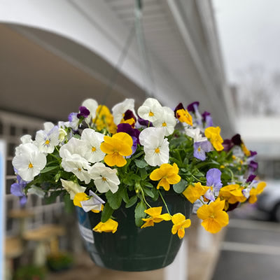 Hanging Basket of Pansies
