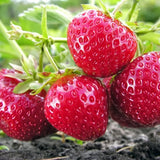 Strawberries: Allstar & Ft Laramie
