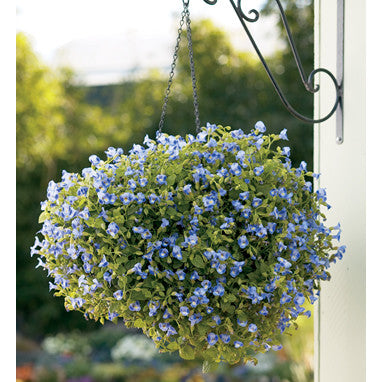 Hanging Basket of Annual Flowers starting at