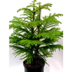 "Norfolk Island Pine Tree Houseplant in 10"" pot"