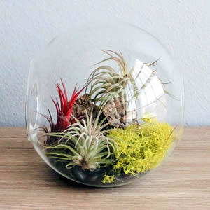 Air Plants, Tillandsias starting at