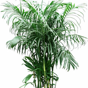 5' Bamboo Palm Tree