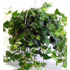 English Ivy Hanging Basket Houseplant