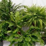 Assorted Fern Houseplants starting at