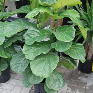 Fiddle-Leaf Ficus Fig starting at