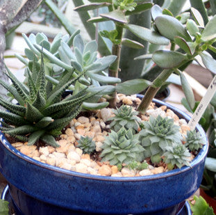 Succulent Plants Assorted starting at