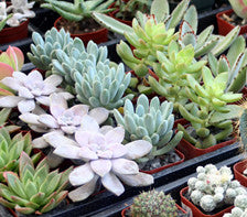 "3.5"" pot Succulent Plants Assorted"