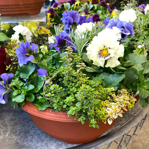 "10"" Planter of Mixed Pansies & Herbs"