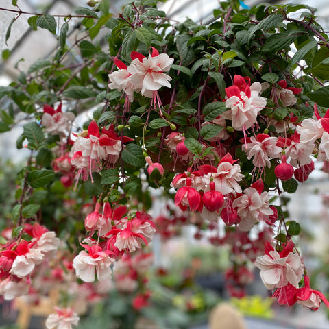 "10"" Hanging Baskets of Fuchsia annuals"