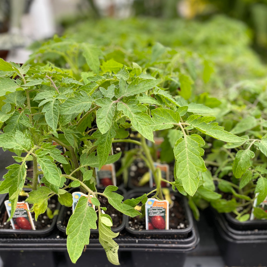 Tomato Plants - Assorted Varieties starting at