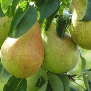 Pear Tree: 4 in 1 Combo Round