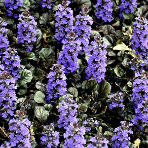 Ajuga (Bugelweed):  Assorted varieties