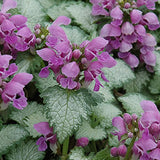Lamium (Dead Nettle) - Assorted varieties