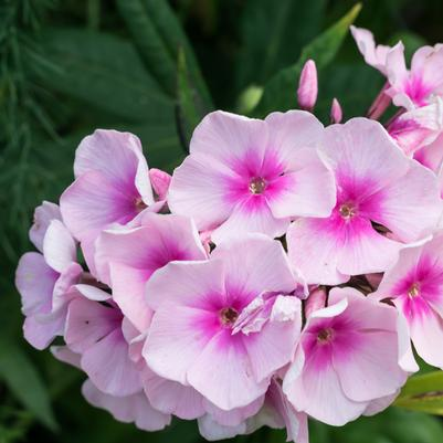 Garden Phlox - assorted varieties starting at