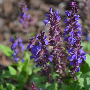 Salvia - Assorted varieties