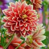 Dahlia Bulbs:  Dinner Plate size in assorted colors