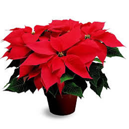 Holiday Poinsettias starting at