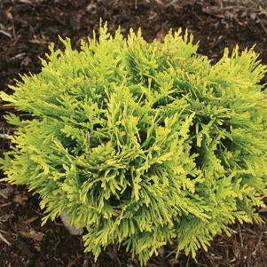 Anna's Magic Ball Arborvitae