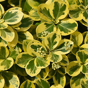 Euonymus - Assorted Varieties