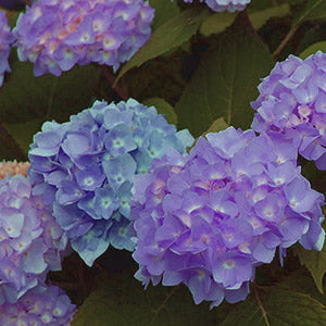 Hydrangeas starting at