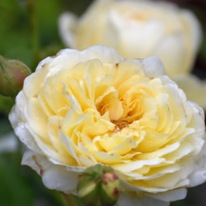 Rose Bushes - assorted varieties starting at