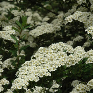 Spirea - assorted varieties