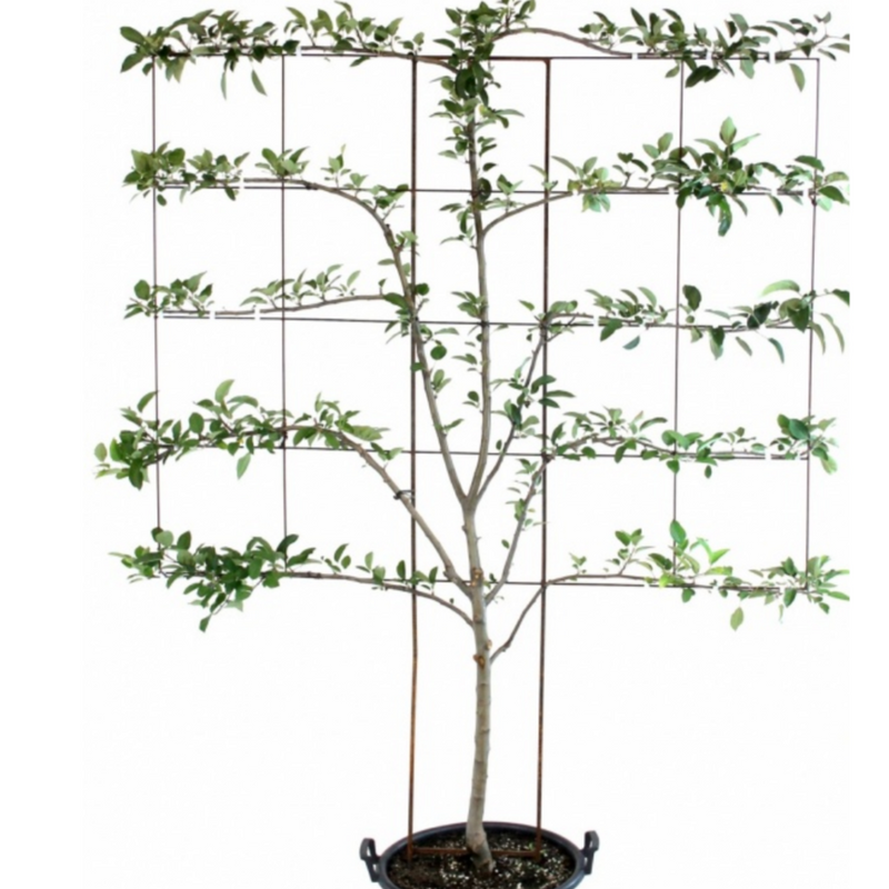 Apple Tree: 6 in 1 Cold Climate Espalier