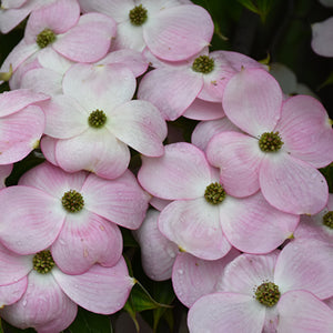 Dogwood Flowering Tree - Stellar Pink or Venus White