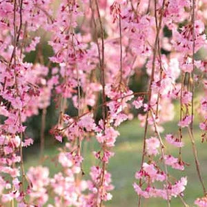 Weeping Cherry Flowering Tree - Prunus Pendula