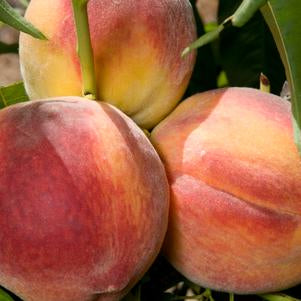 Peach Trees: Red Haven, Contender, Canadian Harmony